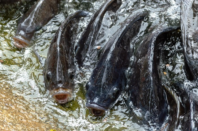 Is Genetically Improved Farmed Tilapia GIFT genetically modified?